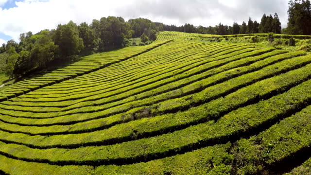 Aerial Footage Tea plantation at Cha Gorreana, Maia, San Miguel, Azores, Portugal video