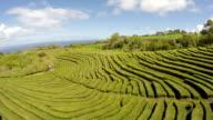 Aerial Footage Tea plantation at Cha Gorreana, Maia, San Miguel, Azores, Portugal video