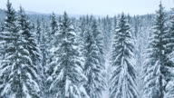 Aerial of a winter forest covered with snow video