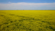 Aerial of canola field and surrounding area video