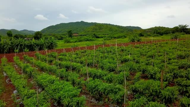 Aerial Organic Chilli Farm In Thailand video