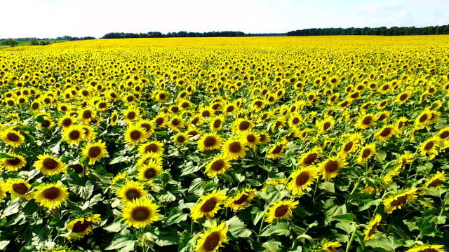 aerial photography field with sunflowers aero video