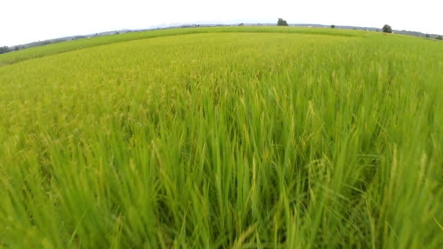 Aerial Shot at rice fields video