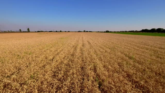 Aerial shot of a wheat field video