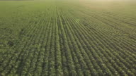 Aerial shot of clear green soy field in summer time video