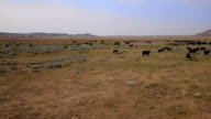 Aerial shot of cows in a valley pasture video