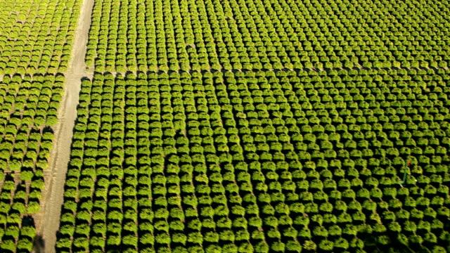 Aerial shot of orange grove, Southern California video