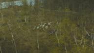 Aerial shot of reindeer video
