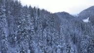 Aerial shot of spruce tree forest treetops in winter video