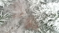 Aerial shot of the snow-covered leaves of the spruce trees video