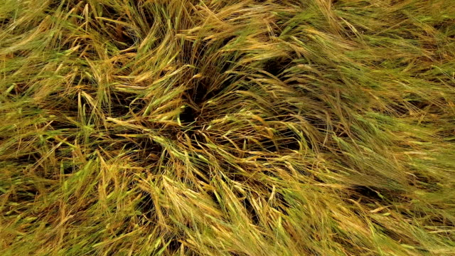 Aerial shot of the tip of the cereal grass video