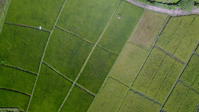 Aerial Shot rice field from drone, rice Terrace of farmer in Chiang mai province, Thailand. video