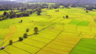 Aerial shot rice field view video