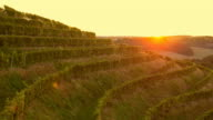 4K Aerial: Slowly Above Grape Lines with Sunset video
