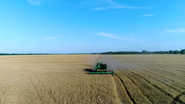 Aerial: The combine harvests the harvest on a beautiful yellow wheat field. video