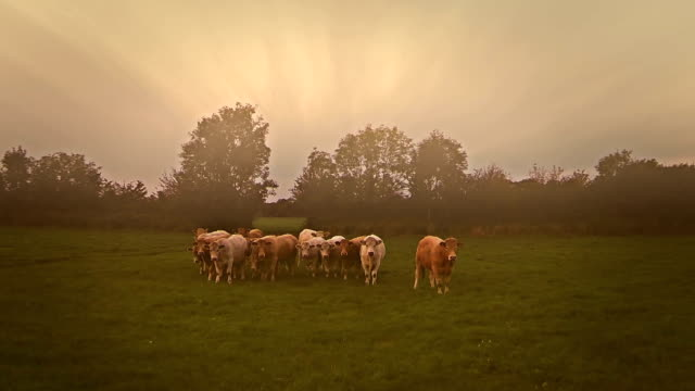 Aerial video of cows and fields on a foggy morning video
