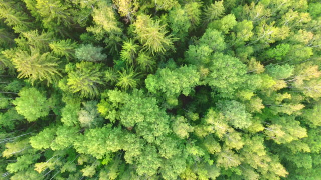 Aerial View. Flying over the forest trees. Aerial drone shot. video