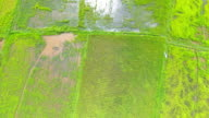 Aerial view of a green rice field in trang thailand video