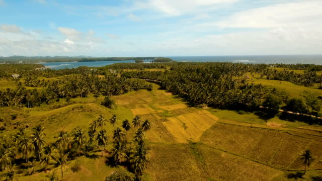 Aerial view of a rice field. Philippines, Siargao video