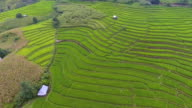 Aerial view of Amazing Rice Field with Mist and Mountain in Morning. video