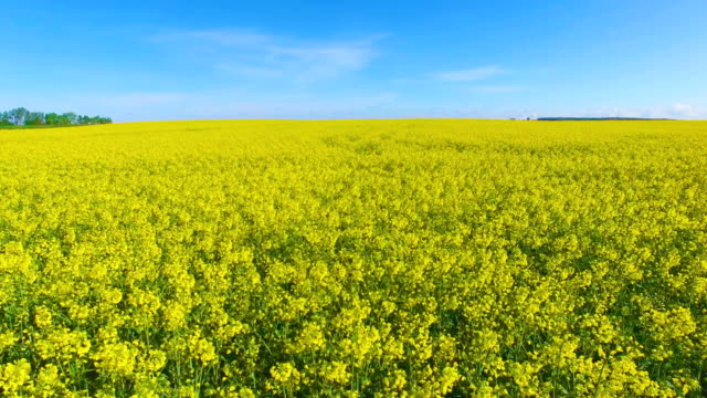 Aerial view of blooming rape fields and blue sky video