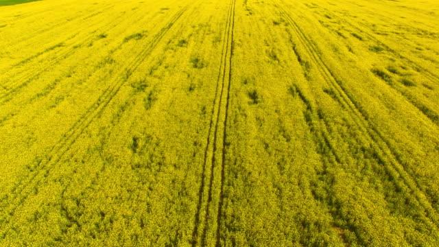 Aerial view of blooming rape fields video