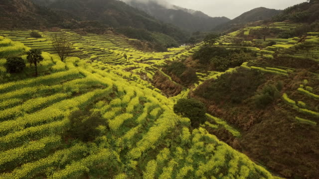 Aerial view of Canola Terraced field at Huangling, China. video