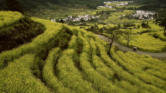 Aerial view of Canola Terraced field at Jiangling, China. video