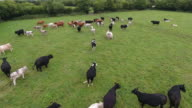 Aerial view of cows in a field video