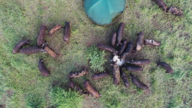 Aerial view of farm worker feeding free range pigs video
