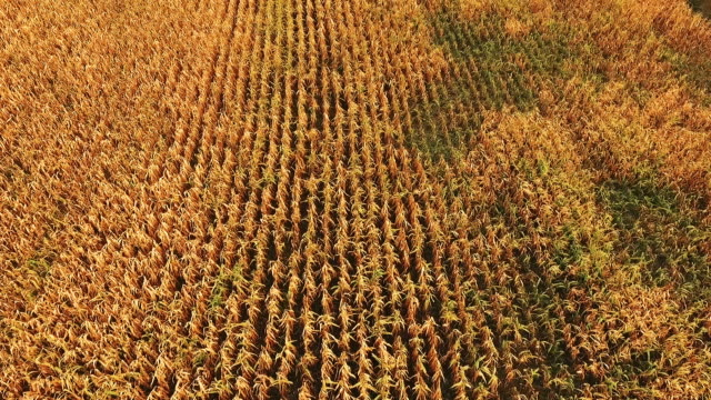 Aerial view of golden ripe corn field background video