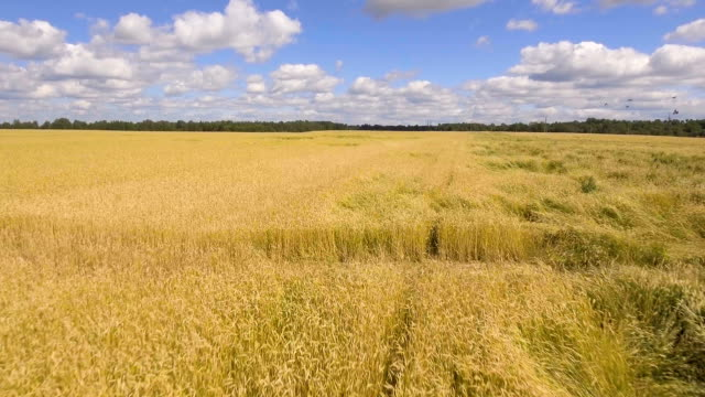 Aerial view of golden wheat field.Aerial video video