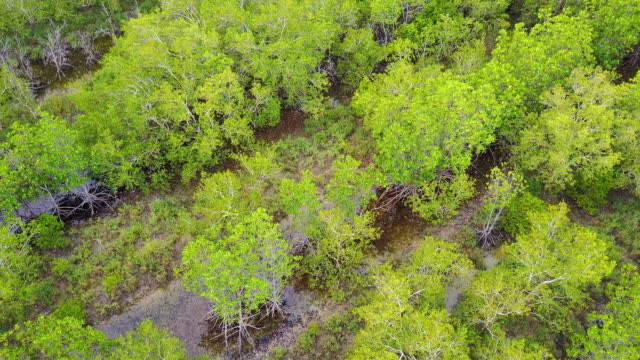 Aerial view of green mangrove forest video