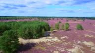 Aerial view of heather bloom - Nemitz heath in Lower Saxony / Germany video