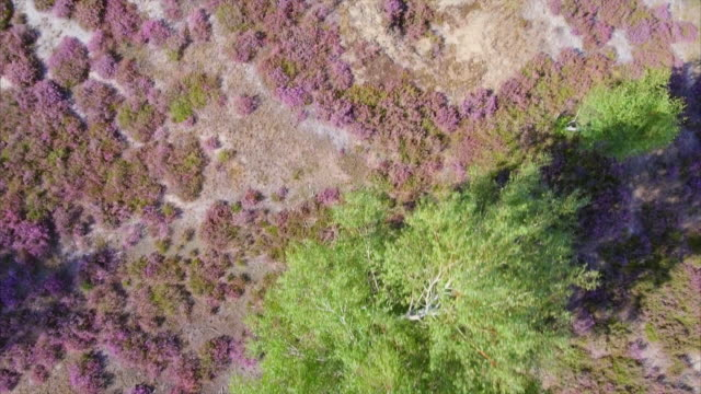 Aerial view of heather in Lower Saxony / Germany video