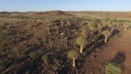 4K aerial view of quiver tree/kokerboom forest in Namibia video