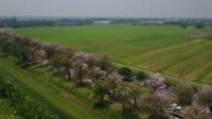 aerial view of road and pink trumpet tree video