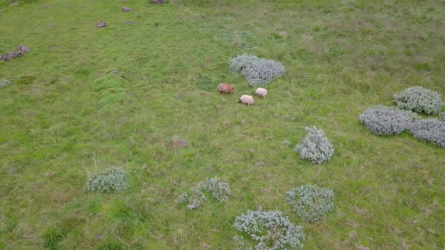 Aerial view of sheep on the pasture at Iceland video