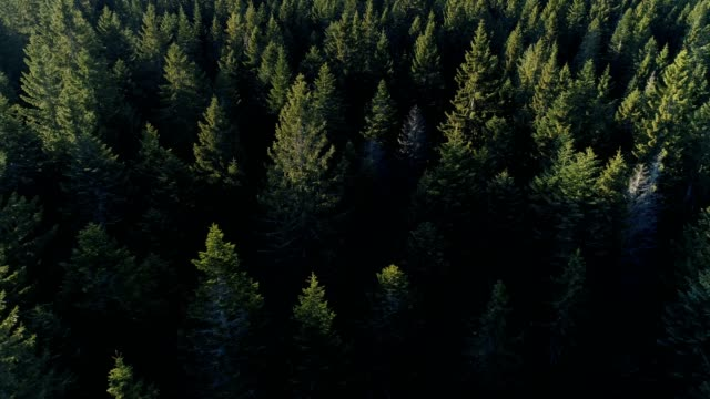 Aerial view of spruce forest in Montenegro video