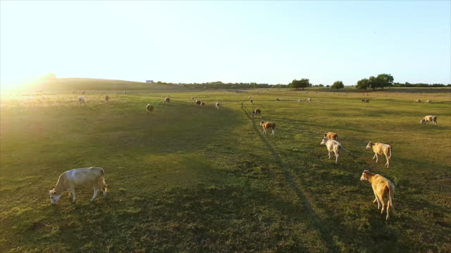 Aerial view of summer countryside with grazing cows. video