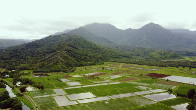 Aerial view of taro fields on a tropical island video