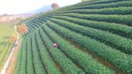 aerial view of tea plantation hangzhou Longjing hill. 4k video