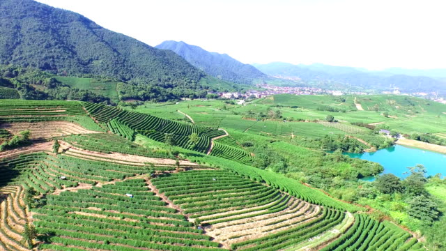 aerial view of tea plantation hangzhou Longjing hill. video
