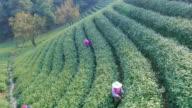 aerial view of tea plantation hangzhou Longjing hill. video