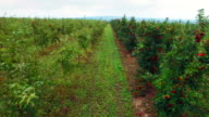 Aerial view of the apple trees garden video