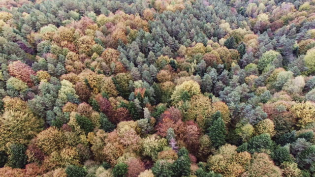 Aerial view of the autumnal forest. Camera moving above pines and maples video