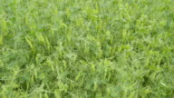 Aerial view of the pea field video