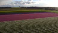 Aerial view of tulips field in Holland video