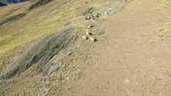 4K Aerial view turn around llama in mountain video