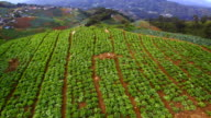 Aerial view vegetable plots lettuce on the northern Thailand. video